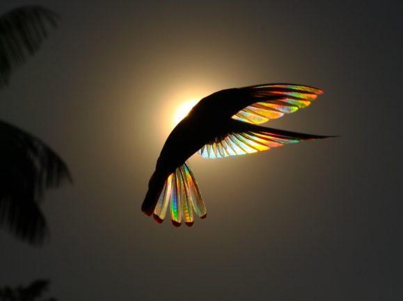 Fotos de artista revelam arco-íris nunca visto em beija-flor-preto 6