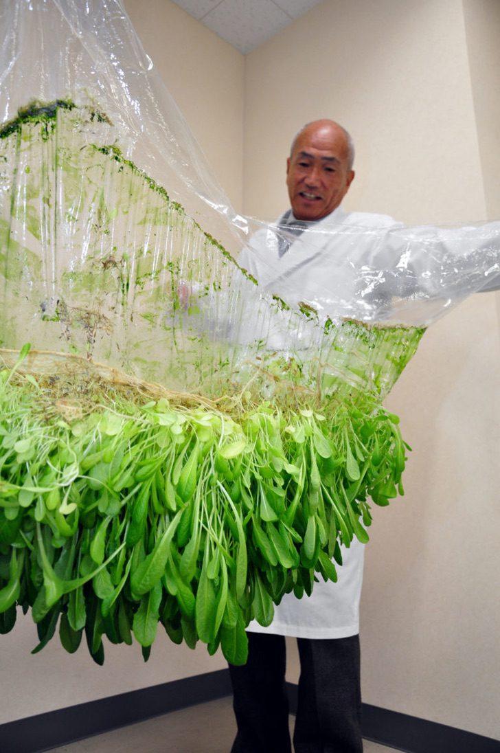 Japonês técnica cultivo alimentos sem precisar de terra