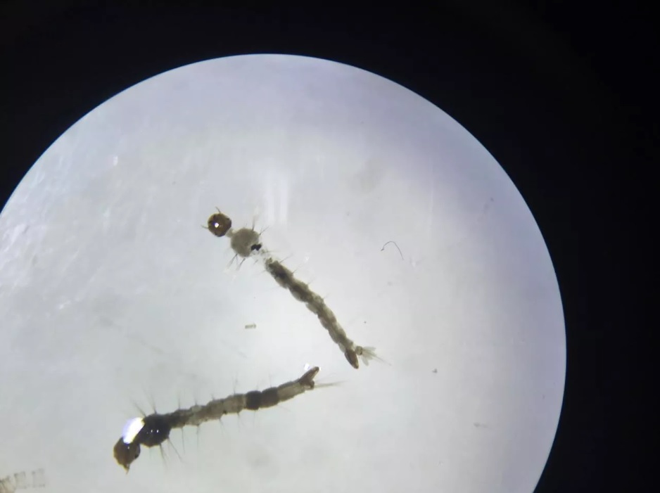 Estudante baiana cria inseticida destrói larvas dengue