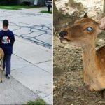 Antes de ir para a escola, menino ajuda cervo cego a procurar comida 2