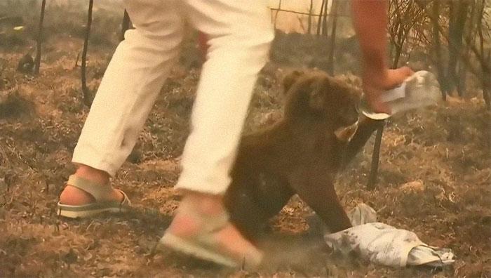Mulher tira própria camisa salvar coala preso incêndio