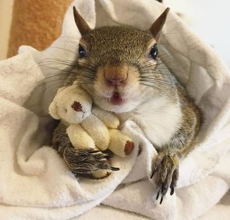 Esquilo resgatado só dorme com ursinho de pelúcia