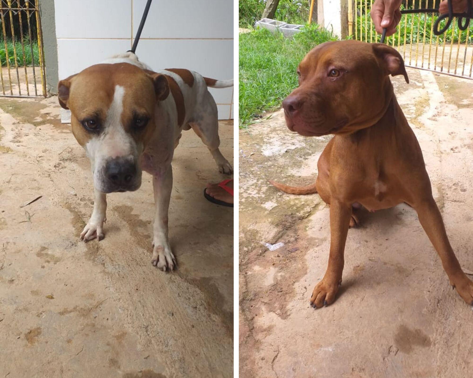 dois pitbulls resgatados em rinha de Itu