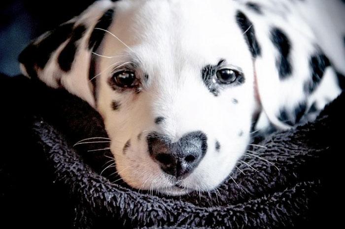 dálmata nasceu coração nascença nariz