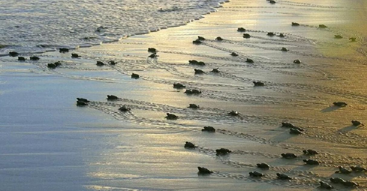 projeto tamar proteção de tartarugas