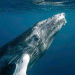 população baleias jubarte aumenta