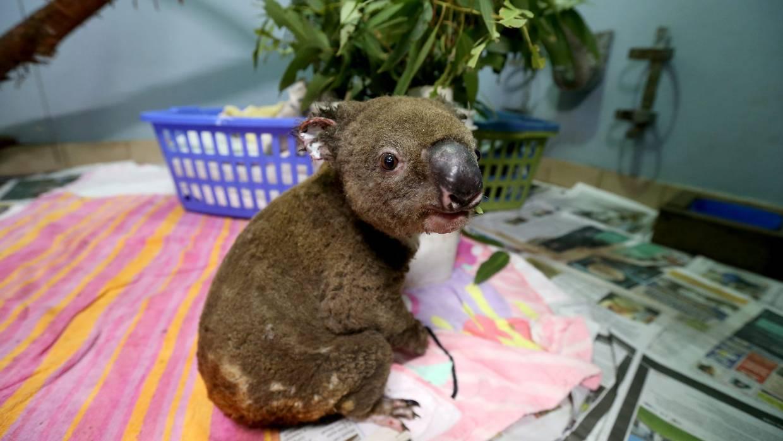 Caçador salva coalas incêndio florestal Austrália