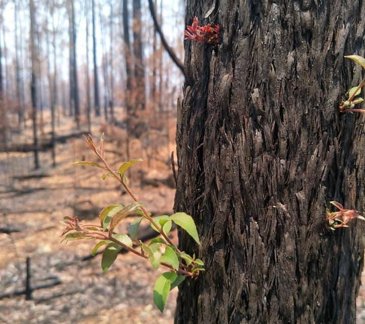 vegetação renascendo austrália incêndios