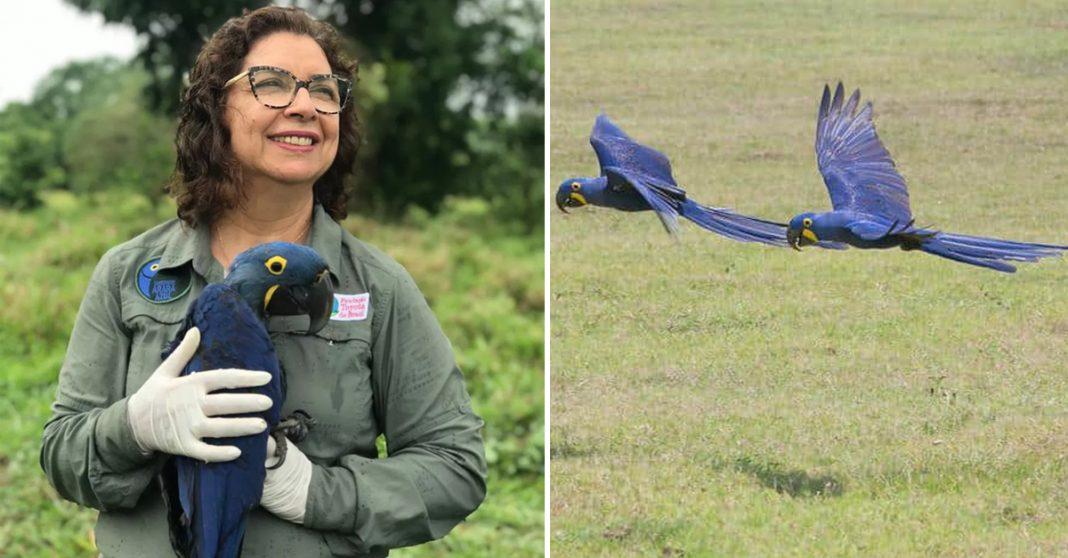 Bióloga que salvou Arara Azul da extinção concorre a prêmio 4