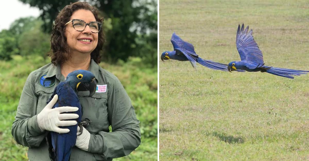 Bióloga que salvou Arara Azul da extinção concorre a prêmio 1