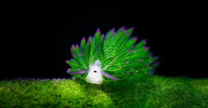 Conheça a lesma-do-mar fofinha que mais parece uma ovelha 1