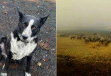 Cachorro salva ovelhas incêndio florestal Austrália