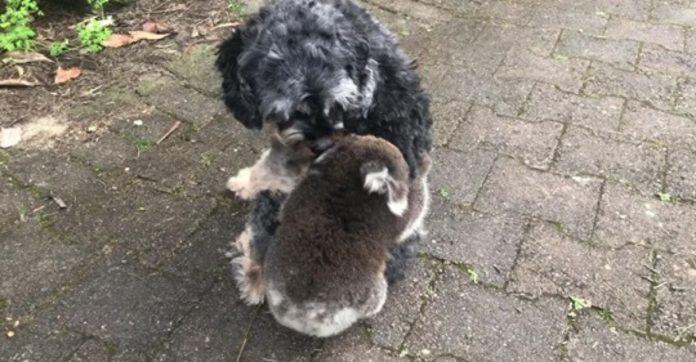 bebê coala agarra cachorro vídeo