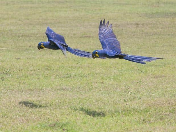 Bióloga que salvou Arara Azul da extinção concorre a prêmio 3