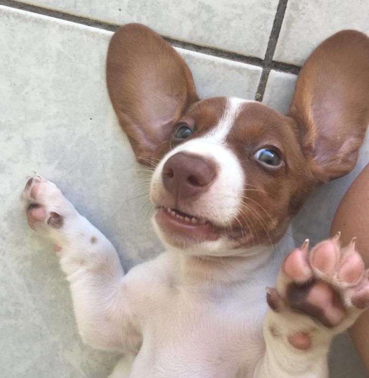 filhote da raça basset sorrindo