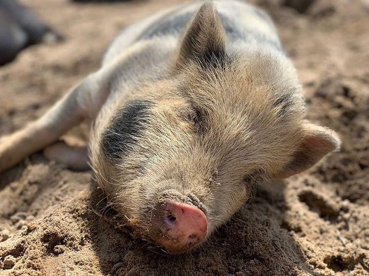 Santuário de animais trabalho acariciador de barrigas porcos