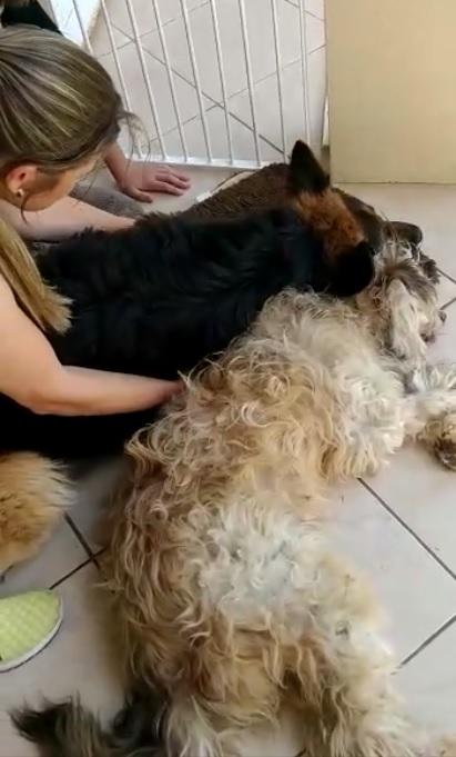 vídeo pastor alemão chora perda amigo