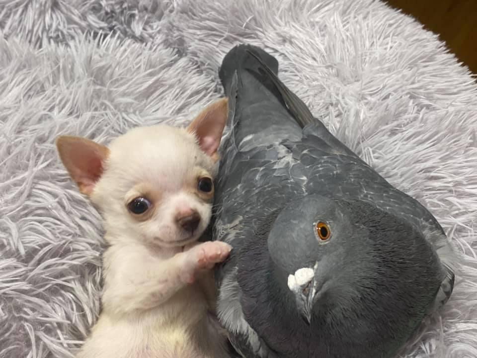 amizade entre pombo e cachorro com deficiência