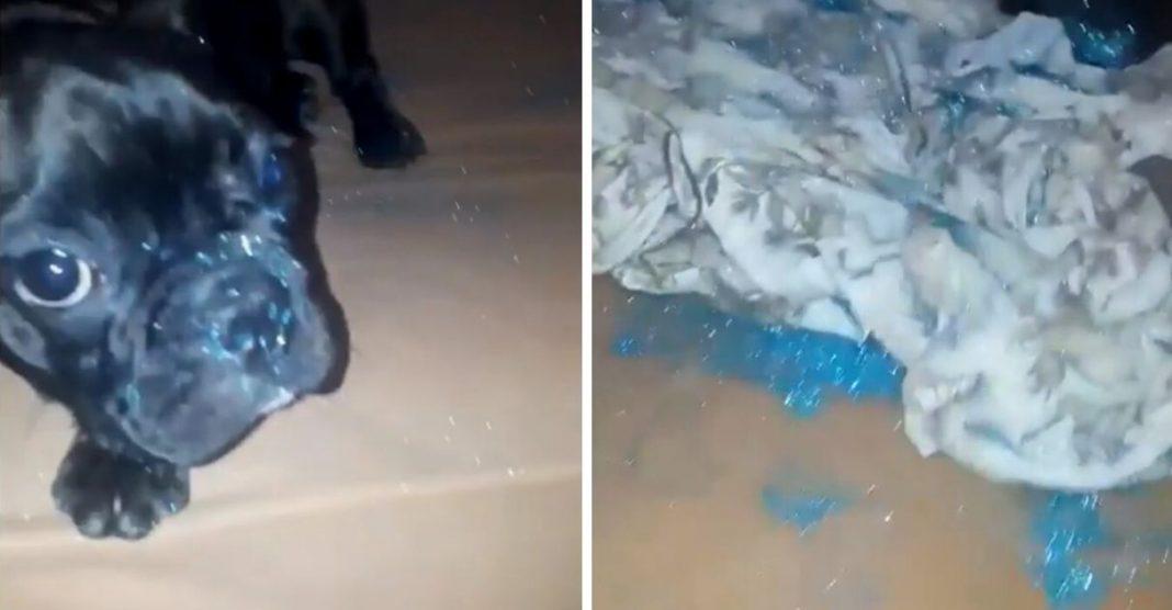 Cachorra espalha purpurina na cama do dono olha a cara dessa indivídua