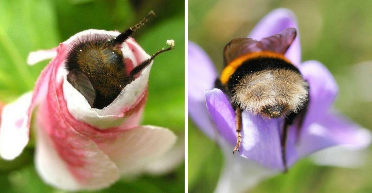 """Fotos de abelhas cansadas dormindo de """"bumbum pra cima"""" dentro de flores viralizam 1"""