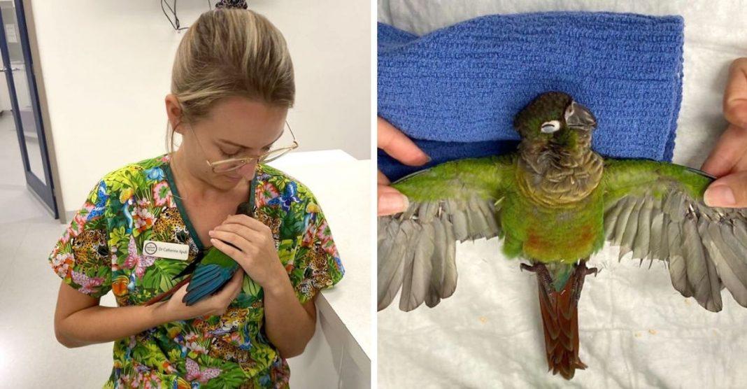 Veterinária cria asas protéticas para papagaio que teve as suas cortadas 2