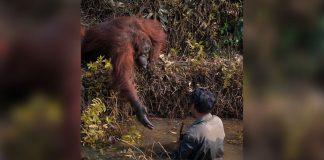 Orangotango oferece a mão para 'salvar' homem de lago infestado de cobras