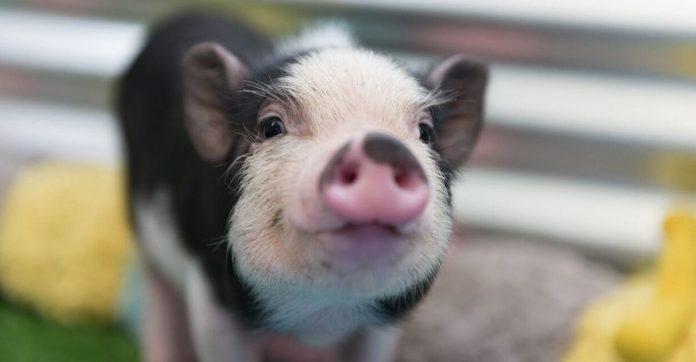 Santuário de animais trabalho acariciador de barrigas porquinhos