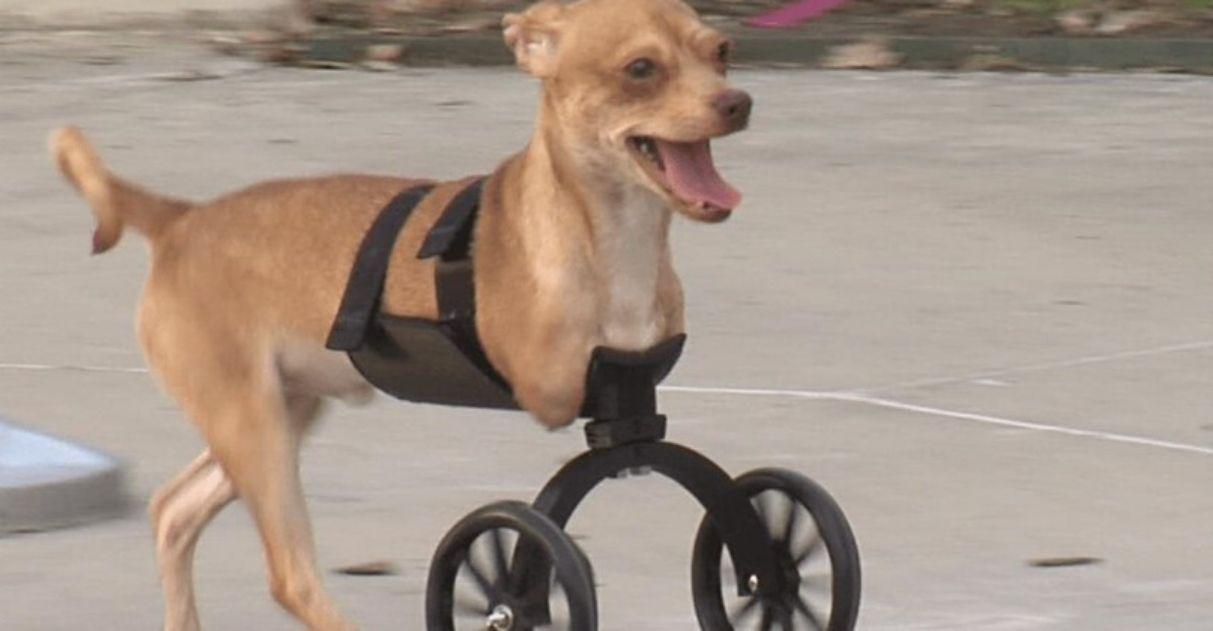cadela com cadeirinha de rodas