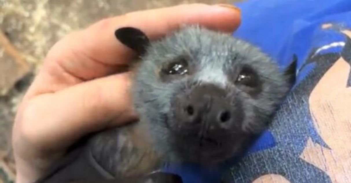 filhote de morcego recebendo cafuné