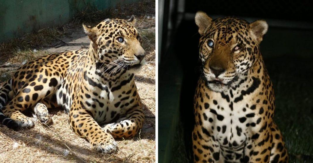 ONG Ampara Animal cria espaço adaptado onça-pintada cega