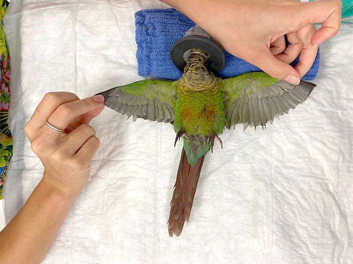 veterinário cria asas para papagaio mutilado