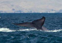 baleias azuis são vistas Antártida primeira vez quarenta anos