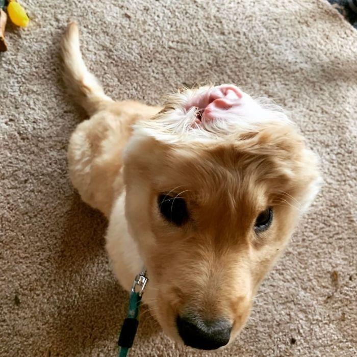 cachorrinha-unicórnio uma orelha só