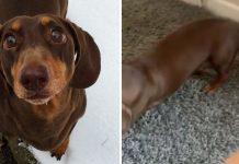 Esse cachorro tá tão feliz com os donos em casa nessa quarentena que machucou o rabo de tanto balançar