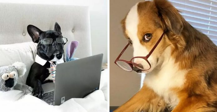 ensaio fofo de cães trabalhando home office