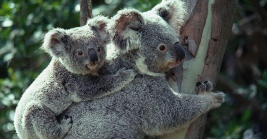 coalas devolvidos natureza fim incêndios florestais austrália