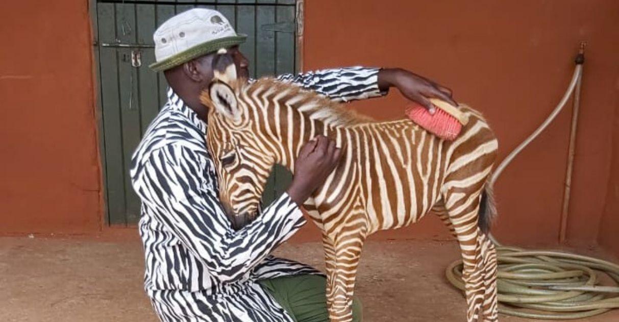 Funcionários usam roupa com listras para cuidar bebê zebra órfão