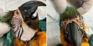 Arara-canindé atropelada recebe implante de bico