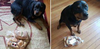Rottweiler protege pães família