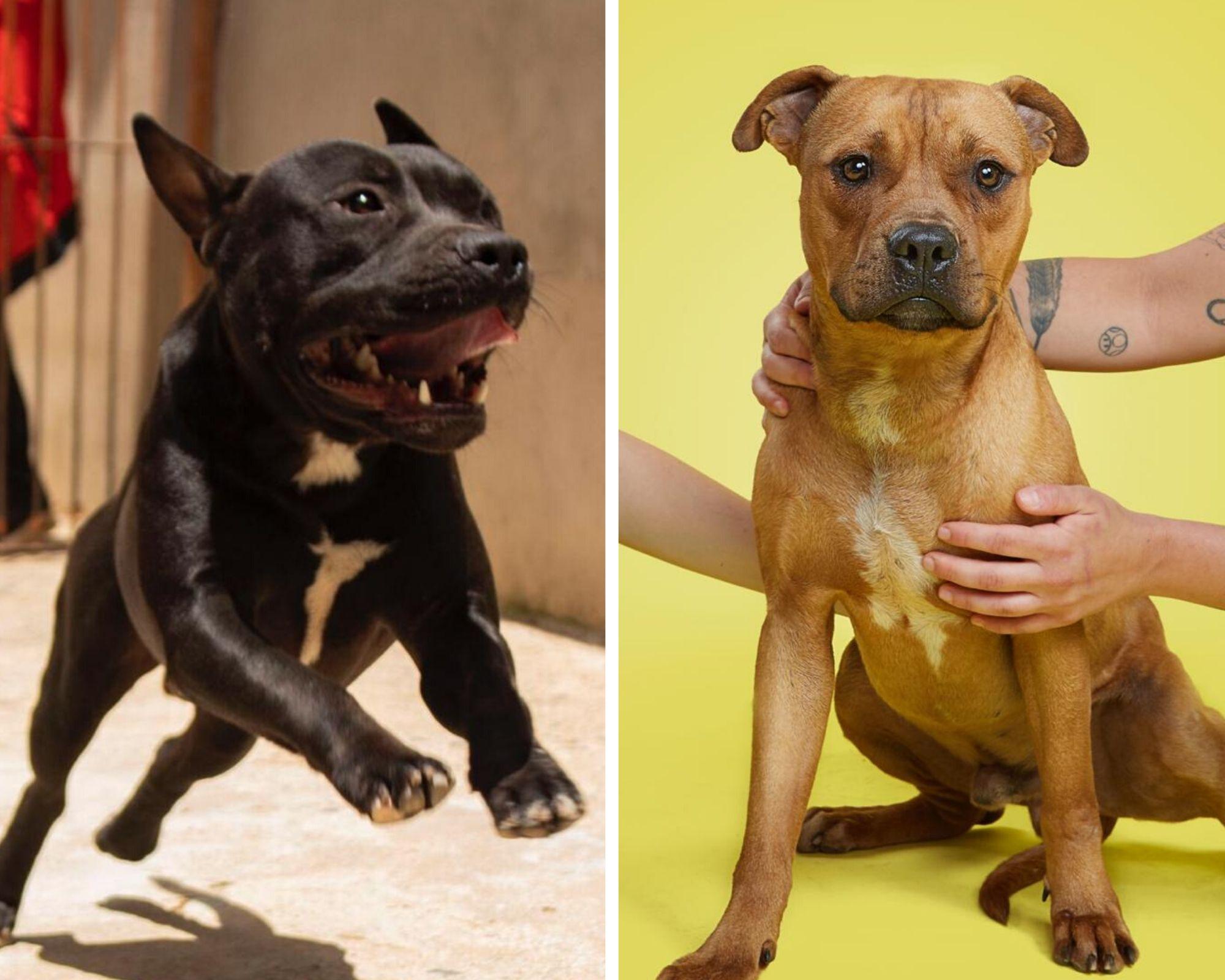 pitbulls resgatados de rinha para adoção em SP