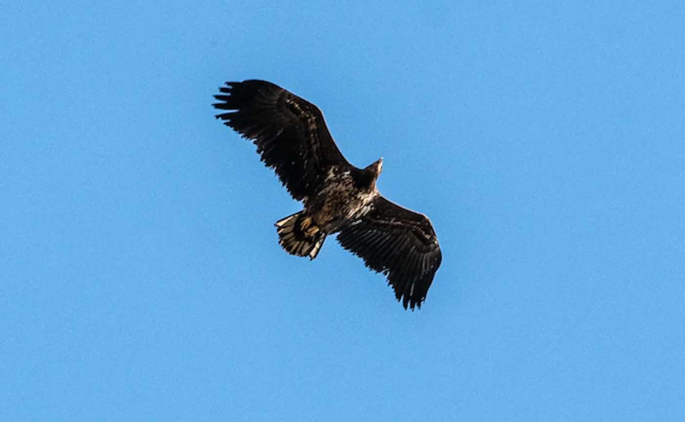 águias-rabalvas são vistas novamente inglaterra