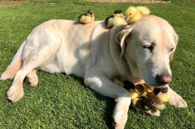 Cão labrador adota patinhos órfãos
