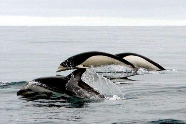 golfinhos-lisos-do-sul avistamento chile