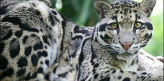 leopardo supostamente extinto visto na natureza novamente