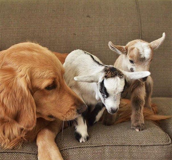 cachorra golden retriever acha que é mãe de bebês cabra