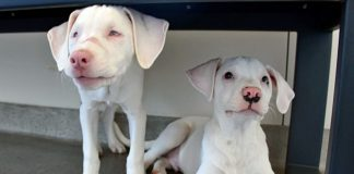 Filhote cuida irmã surda e cega como um cão-guia