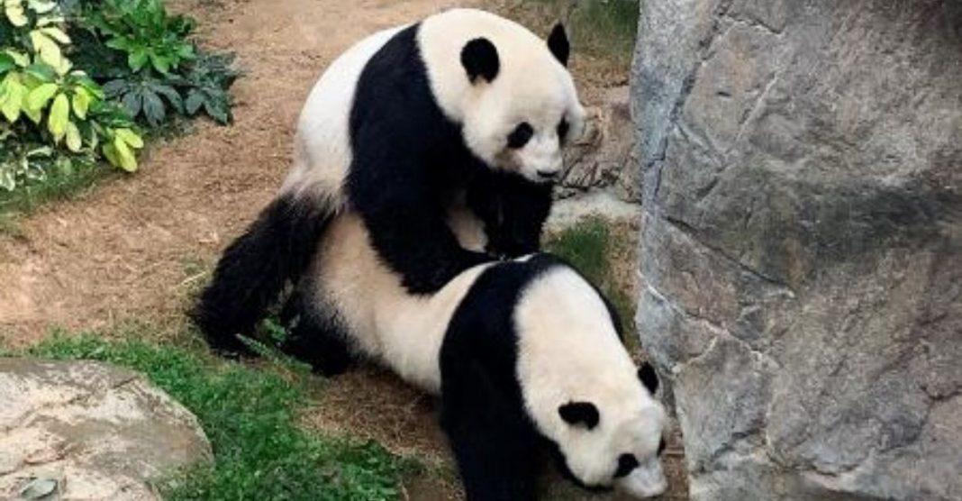 panda aproveita zoológico vazio para acasalar