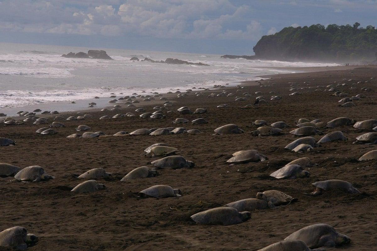 sem turistas coronavírus tartarugas-olivas prosperam praias indianas