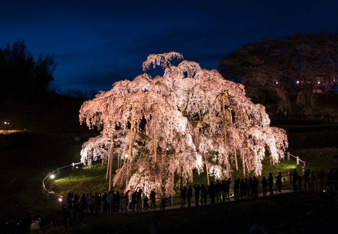 árvore cerejeira Takizakura japão