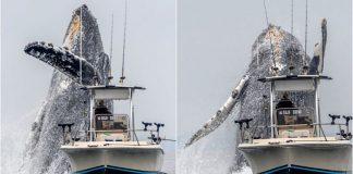 vídeo baleia jubarte gigante saltando barco pescador